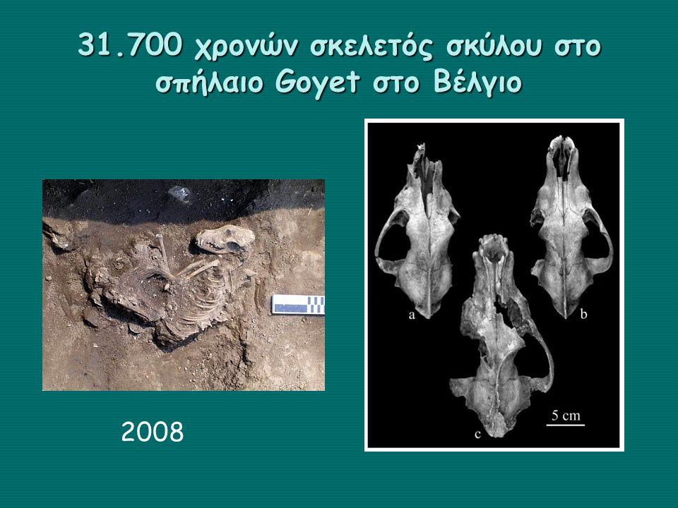 31.700 χρονών σκελετός σκύλου στο σπήλαιο Goyet στο Βέλγιο 2008