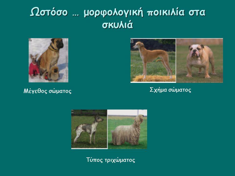 Ωστόσο … μορφολογική ποικιλία στα σκυλιά Σχήμα σώματος Τύπος τριχώματος Μέγεθος σώματος