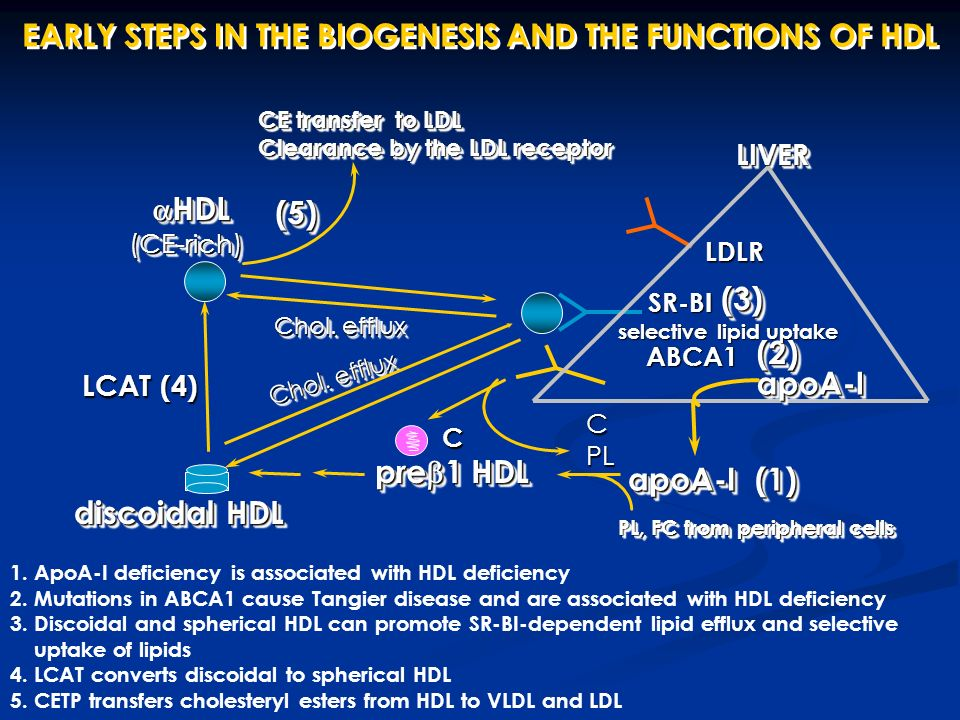 EARLY STEPS IN THE BIOGENESIS AND THE FUNCTIONS OF HDL LIVERLIVER apoA-I (1) pre  1 HDL HDLHDL PL, FC from peripheral cells ABCA1  HDL (CE-rich) LDLR CE transfer to LDL Clearance by the LDL receptor CE transfer to LDL Clearance by the LDL receptor (2)(2) discoidaldiscoidal Chol.