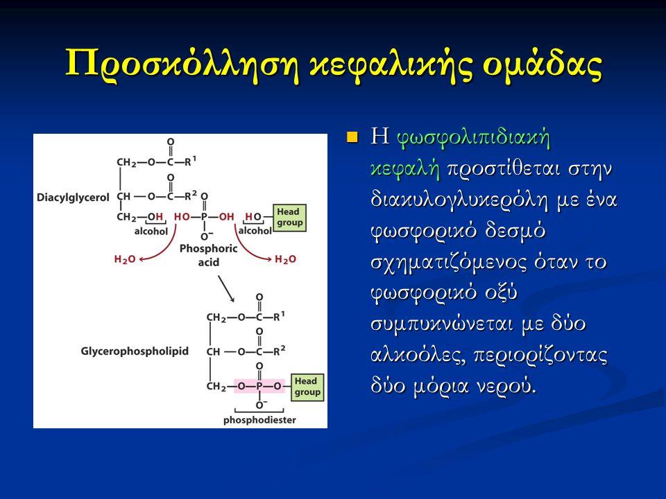 Προσκόλληση κεφαλικής ομάδας Η φωσφολιπιδιακή κεφαλή προστίθεται στην διακυλογλυκερόλη με ένα φωσφορικό δεσμό σχηματιζόμενος όταν το φωσφορικό οξύ συμπυκνώνεται με δύο αλκοόλες, περιορίζοντας δύο μόρια νερού.