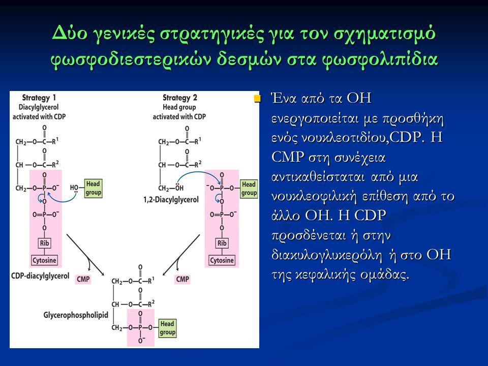 Δύο γενικές στρατηγικές για τον σχηματισμό φωσφοδιεστερικών δεσμών στα φωσφολιπίδια Ένα από τα ΟΗ ενεργοποιείται με προσθήκη ενός νουκλεοτιδίου,CDP.