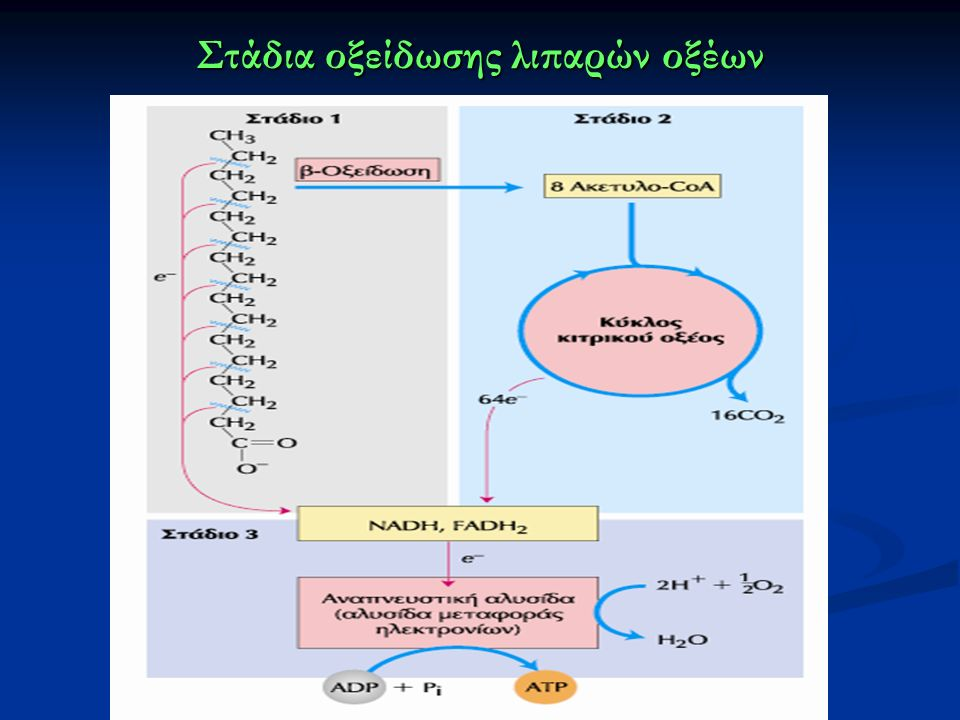 Στάδια οξείδωσης λιπαρών οξέων