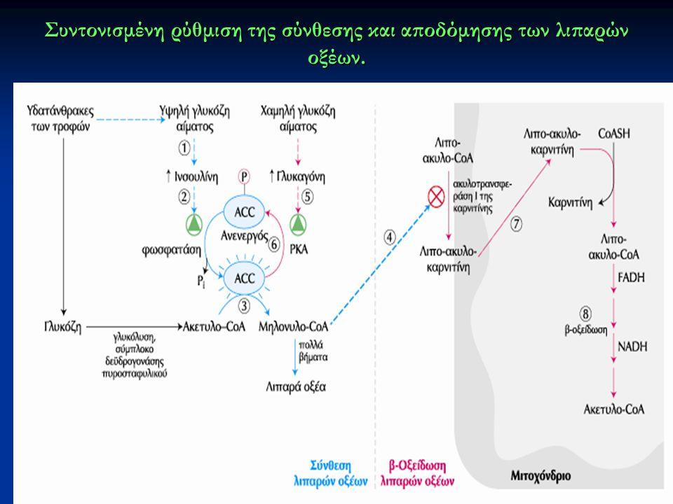 Συντονισμένη ρύθμιση της σύνθεσης και αποδόμησης των λιπαρών οξέων.