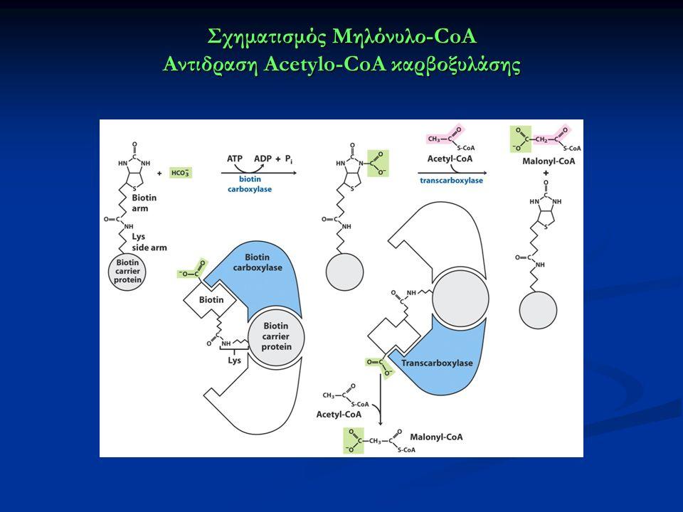 Σχηματισμός Μηλόνυλο-CoA Αντιδραση Acetylo-CoA καρβοξυλάσης