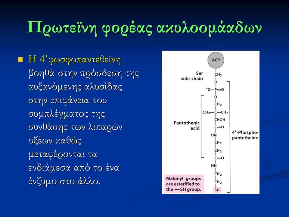 Πρωτεϊνη φορέας ακυλοομάαδων Η 4΄φωσφοπαντεθεϊνη βοηθά στην πρόσδεση της αυξανόμενης αλυσίδας στην επιφάνεια του συμπλέγματος της συνθάσης των λιπαρών οξέων καθώς μεταφέρονται τα ενδιάμεσα από το ένα ένζυμο στο άλλο.