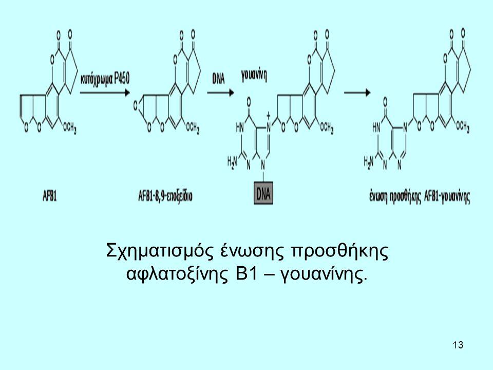 13 Σχηματισμός ένωσης προσθήκης αφλατοξίνης Β1 – γουανίνης.