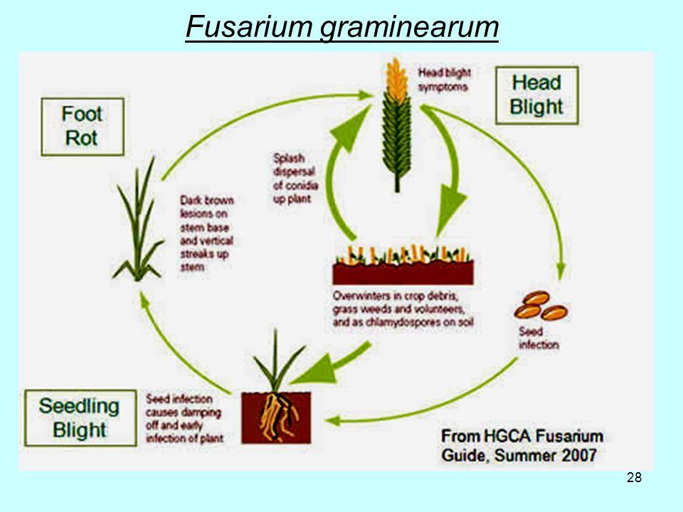 28 Fusarium graminearum
