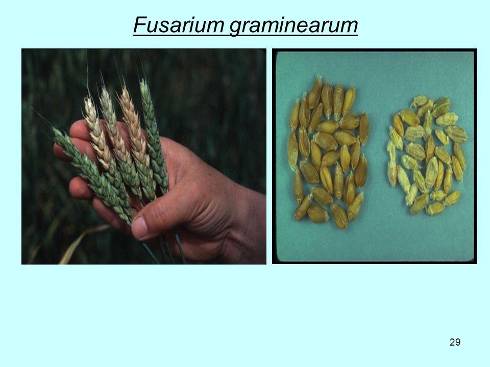 29 Fusarium graminearum