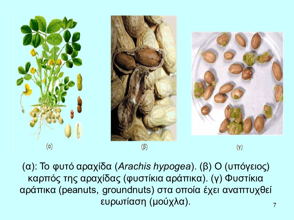 7 (α): Το φυτό αραχίδα (Arachis hypogea). (β) Ο (υπόγειος) καρπός της αραχίδας (φυστίκια αράπικα).