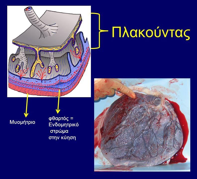 Πλακούντας Μυομήτριο φθαρτός = Ενδομητρικό στρώμα στην κύηση