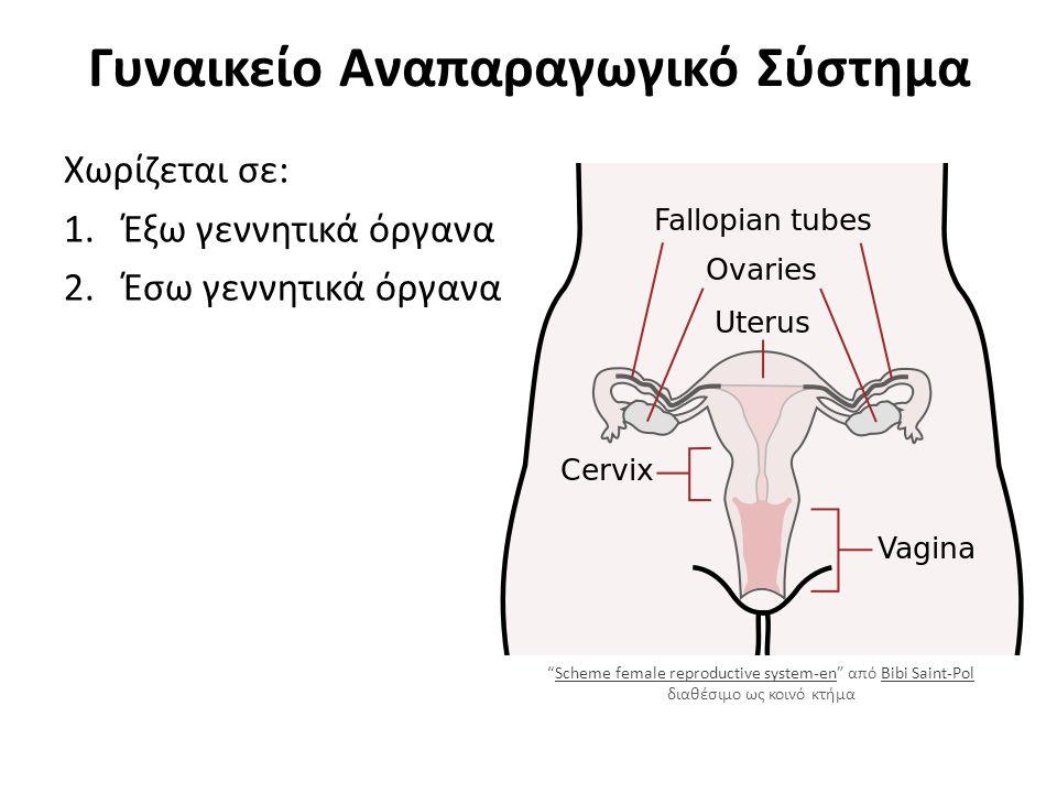 Γυναικείο Αναπαραγωγικό Σύστημα Χωρίζεται σε: 1.Έξω γεννητικά όργανα 2.Έσω γεννητικά όργανα Scheme female reproductive system-en από Bibi Saint-Pol διαθέσιμο ως κοινό κτήμαScheme female reproductive system-enBibi Saint-Pol