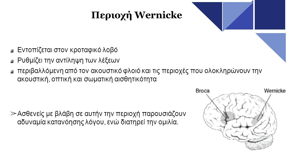Περιοχή Wernicke Εντοπίζεται στον κροταφικό λοβό Ρυθμίζει την αντίληψη των λέξεων περιβαλλόμενη από τον ακουστικό φλοιό και τις περιοχές που ολοκληρών