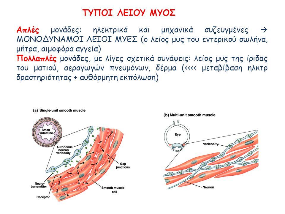 Απλές μονάδες: ηλεκτρικά και μηχανικά συζευγμένες  ΜΟΝΟΔΥΝΑΜΟΙ ΛΕΙΟΙ ΜΥΕΣ (ο λείος μυς του εντερικού σωλήνα, μήτρα, αιμοφόρα αγγεία) Πολλαπλές μονάδε