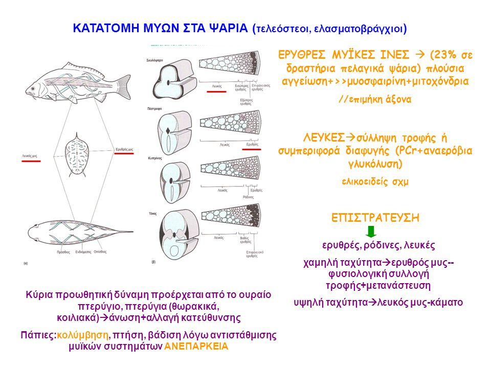 ΚΑΤΑΤΟΜΗ ΜΥΩΝ ΣΤΑ ΨΑΡΙΑ ( τελεόστεοι, ελασματοβράγχιοι ) ΕΡΥΘΡΕΣ ΜΥΪΚΕΣ ΙΝΕΣ  (23% σε δραστήρια πελαγικά ψάρια) πλούσια αγγείωση+>>μυοσφαιρίνη+μιτοχό