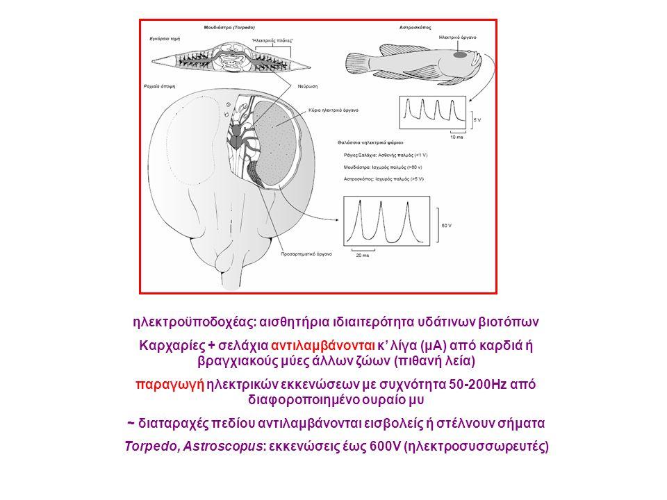 ηλεκτροϋποδοχέας: αισθητήρια ιδιαιτερότητα υδάτινων βιοτόπων Καρχαρίες + σελάχια αντιλαμβάνονται κ' λίγα (μΑ) από καρδιά ή βραγχιακούς μύες άλλων ζώων