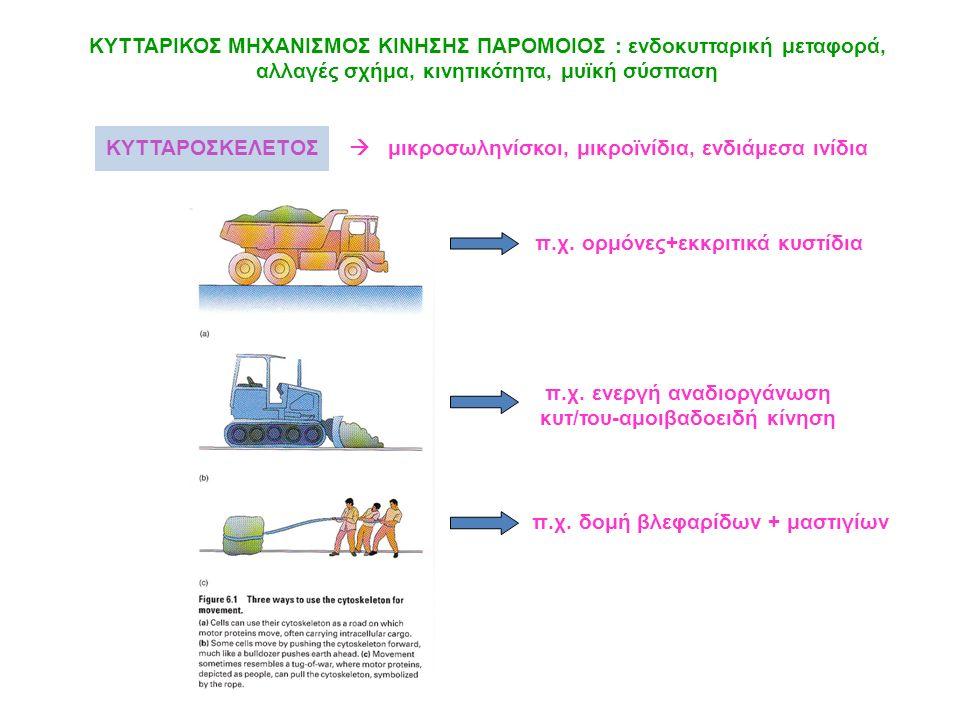 ΚΥΤΤΑΡΙΚΟΣ ΜΗΧΑΝΙΣΜΟΣ ΚΙΝΗΣΗΣ ΠΑΡΟΜΟΙΟΣ : ενδοκυτταρική μεταφορά, αλλαγές σχήμα, κινητικότητα, μυϊκή σύσπαση ΚΥΤΤΑΡΟΣΚΕΛΕΤΟΣ  μικροσωληνίσκοι, μικροϊ