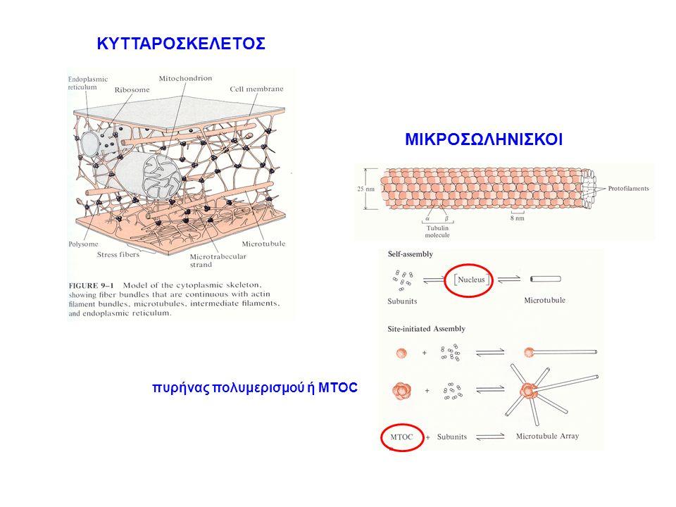 ΚΥΤΤΑΡΟΣΚΕΛΕΤΟΣ ΜΙΚΡΟΣΩΛΗΝΙΣΚΟΙ πυρήνας πολυμερισμού ή MTOC
