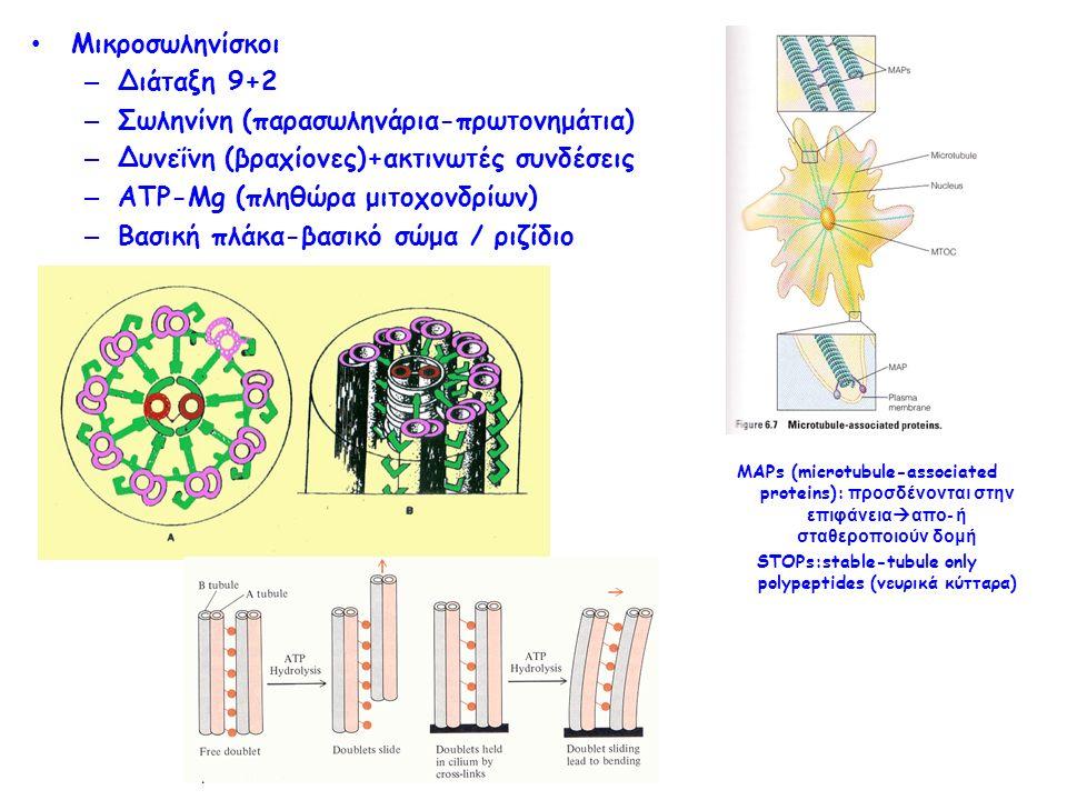Μικροσωληνίσκοι – Διάταξη 9+2 – Σωληνίνη (παρασωληνάρια-πρωτονημάτια) – Δυνεΐνη (βραχίονες)+ακτινωτές συνδέσεις – ΑΤΡ-Μg (πληθώρα μιτοχονδρίων) – Βασι