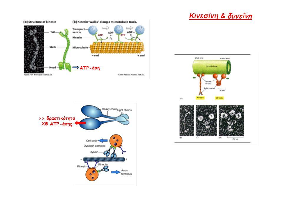ATP-άση >> δραστικότητα Χ5 ATP-άσης Κινεσίνη & δυνε ΐ νη