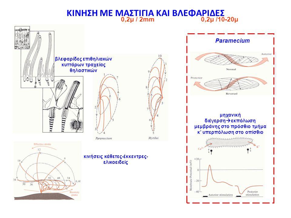 ΚΙΝΗΣΗ ΜΕ ΜΑΣΤΙΓΙΑ ΚΑΙ ΒΛΕΦΑΡΙΔΕΣ 0,2μ /10-20μ0,2μ / 2mm βλεφαρίδες επιθηλιακών κυττάρων τραχείας θηλαστικών κινήσεις κάθετες-έκκεντρες- ελικοειδείς P