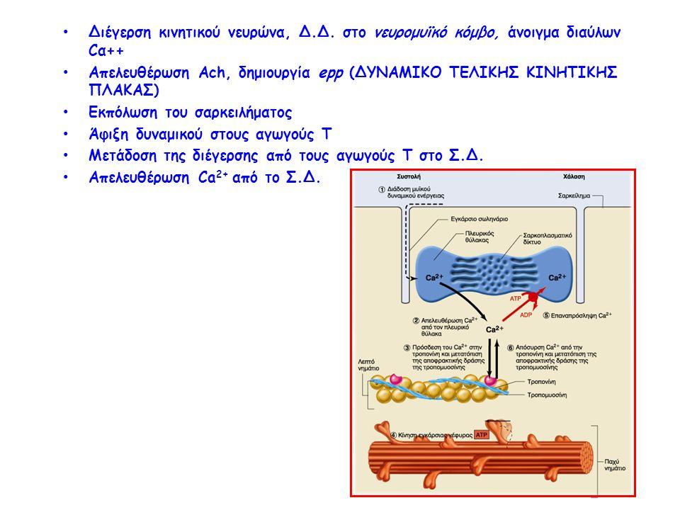 Διέγερση κινητικού νευρώνα, Δ.Δ. στο νευρομυϊκό κόμβο, άνοιγμα διαύλων Cα++ Απελευθέρωση Ach, δημιουργία epp (ΔΥΝΑΜΙΚΟ ΤΕΛΙΚΗΣ ΚΙΝΗΤΙΚΗΣ ΠΛΑΚΑΣ) Εκπόλ