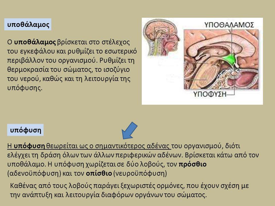 υποθάλαμος Ο υποθάλαμος βρίσκεται στο στέλεχος του εγκεφάλου και ρυθμίζει το εσωτερικό περιβάλλον του οργανισμού. Ρυθμίζει τη θερμοκρασία του σώματος,