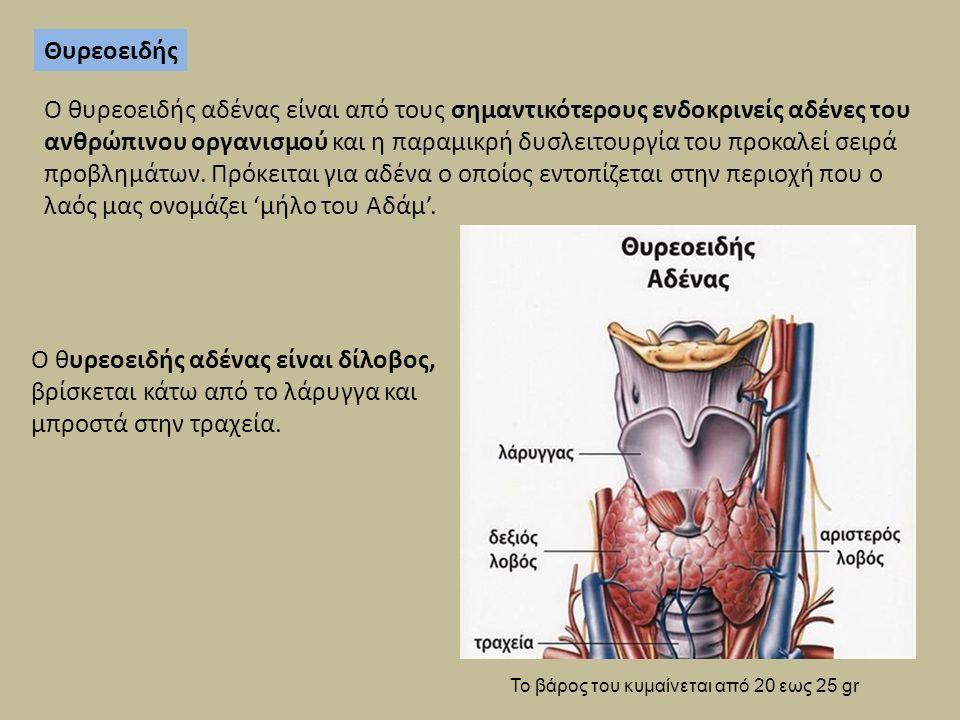 Ο θυρεοειδής αδένας είναι δίλοβος, βρίσκεται κάτω από το λάρυγγα και μπροστά στην τραχεία. Θυρεοειδής Ο θυρεοειδής αδένας είναι από τους σημαντικότερο