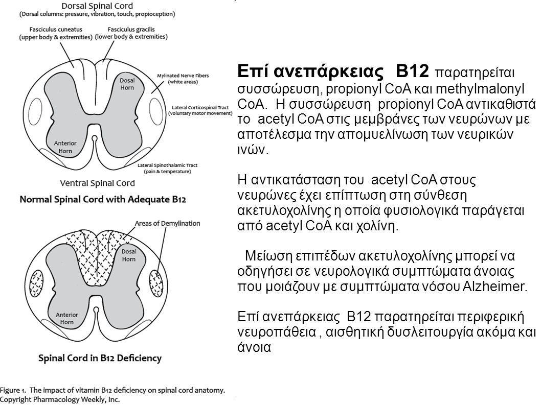 Επί ανεπάρκειας B12 παρατηρείται συσσώρευση, propionyl CoA και methylmalonyl CoA.