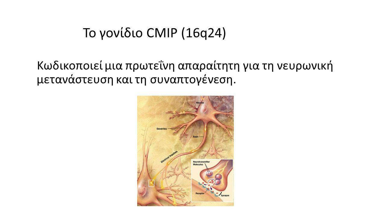 Το γονίδιο CMIP (16q24) Κωδικοποιεί μια πρωτεΐνη απαραίτητη για τη νευρωνική μετανάστευση και τη συναπτογένεση.