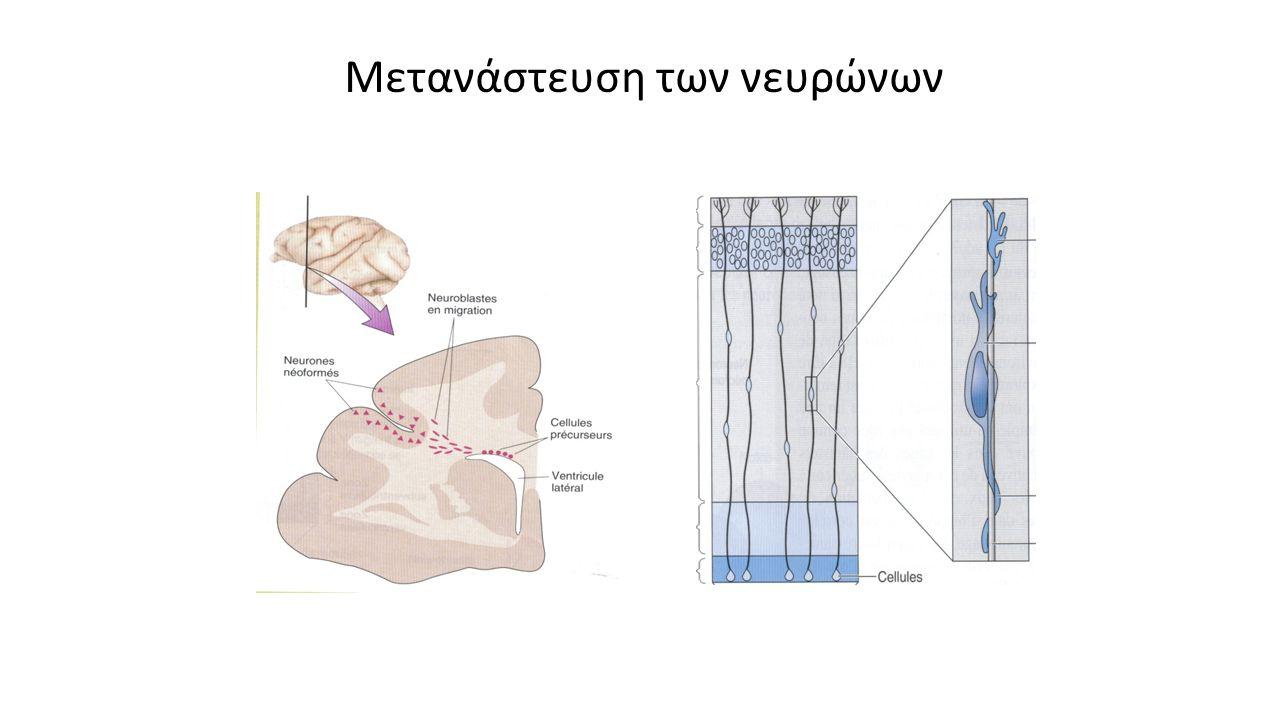Μετανάστευση των νευρώνων