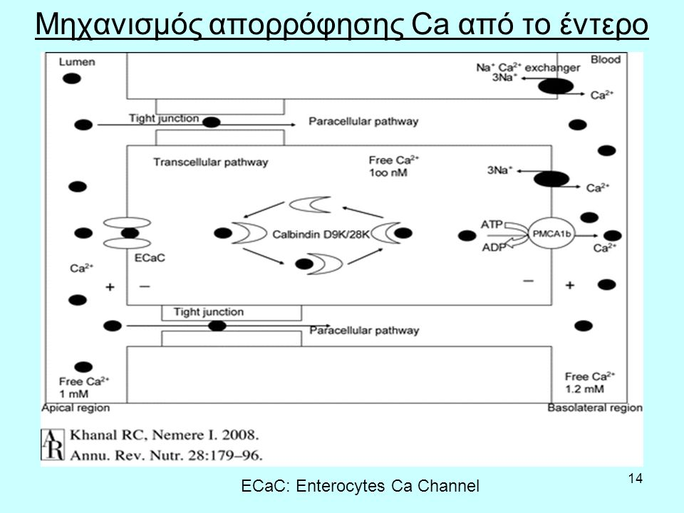 14 Μηχανισμός απορρόφησης Ca από το έντερο ECaC: Enterocytes Ca Channel