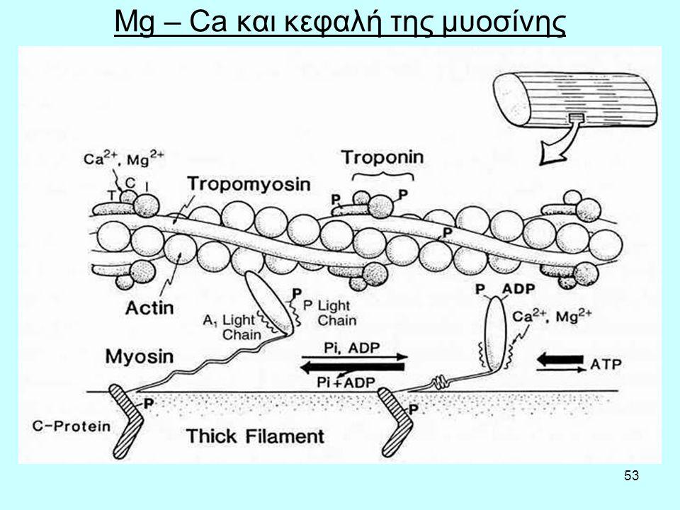 53 Mg – Ca και κεφαλή της μυοσίνης