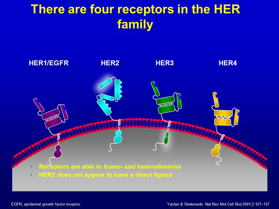 There are four receptors in the HER family Receptors are able to homo- and heterodimerise HER2 does not appear to have a direct ligand HER2HER1/EGFRHE