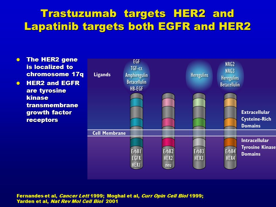Trastuzumab targets HER2 and Lapatinib targets both EGFR and HER2 Fernandes et al, Cancer Lett 1999; Moghal et al, Curr Opin Cell Biol 1999; Yarden et al, Nat Rev Mol Cell Biol 2001 The HER2 gene is localized to chromosome 17q The HER2 gene is localized to chromosome 17q HER2 and EGFR are tyrosine kinase transmembrane growth factor receptors HER2 and EGFR are tyrosine kinase transmembrane growth factor receptors
