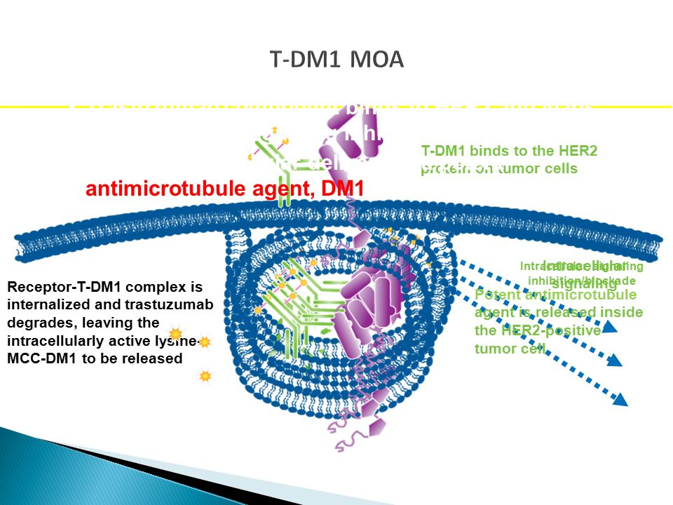 Intracellular signaling Intracellular signaling inhibition/blockade T-DM1 MOA T-DM1 binds to the HER2 protein on tumor cells Receptor-T-DM1 complex is internalized and trastuzumab degrades, leaving the intracellularly active lysine- MCC-DM1 to be released Trastuzumab component binds to HER2 and leads to downstream signaling inhibition/blockade Targeted intracellular delivery of a potent antimicrotubule agent, DM1 Potent antimicrotubule agent is released inside the HER2-positive tumor cell