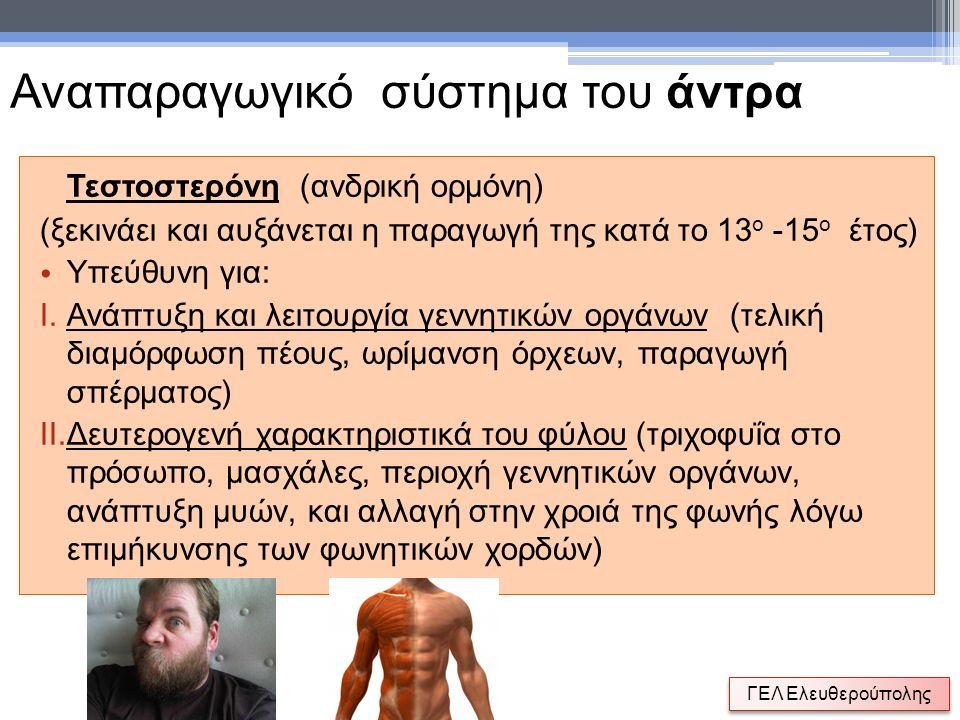 Τεστοστερόνη (ανδρική ορμόνη) (ξεκινάει και αυξάνεται η παραγωγή της κατά το 13 ο -15 ο έτος) Υπεύθυνη για: I.Ανάπτυξη και λειτουργία γεννητικών οργάν