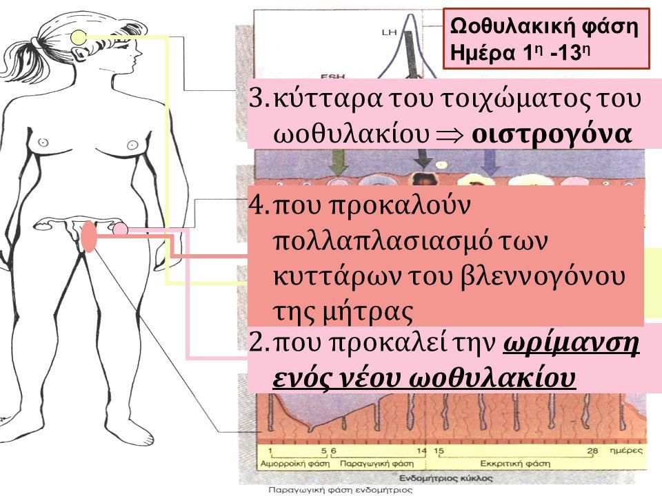 1.Υπόφυση  θυλακιοτρόπος ορμόνη (FSH) 2.που προκαλεί την ωρίμανση ενός νέου ωοθυλακίου 3.κύτταρα του τοιχώματος του ωοθυλακίου  οιστρογόνα 4.που προ