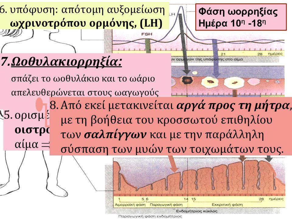 5.ορισμένο επίπεδο οιστρογόνων στο αίμα  6.υπόφυση: απότομη αυξομείωση ωχρινοτρόπου ορμόνης, (LH) 7.Ωοθυλακιορρηξία : σπάζει το ωοθυλάκιο και το ωάρι