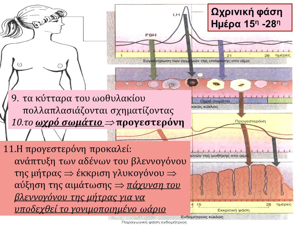 9.τα κύτταρα του ωοθυλακίου πολλαπλασιάζονται σχηματίζοντας 10.το ωχρό σωμάτιο  προγεστερόνη 11.Η προγεστερόνη προκαλεί: ανάπτυξη των αδένων του βλεν