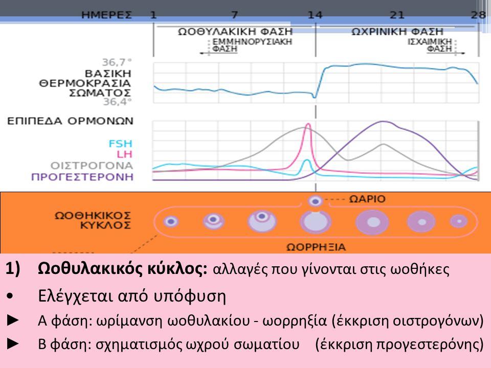 1)Ωοθυλακικός κύκλος: αλλαγές που γίνονται στις ωοθήκες Ελέγχεται από υπόφυση ► Α φάση: ωρίμανση ωοθυλακίου - ωορρηξία (έκκριση οιστρογόνων) ► Β φάση: