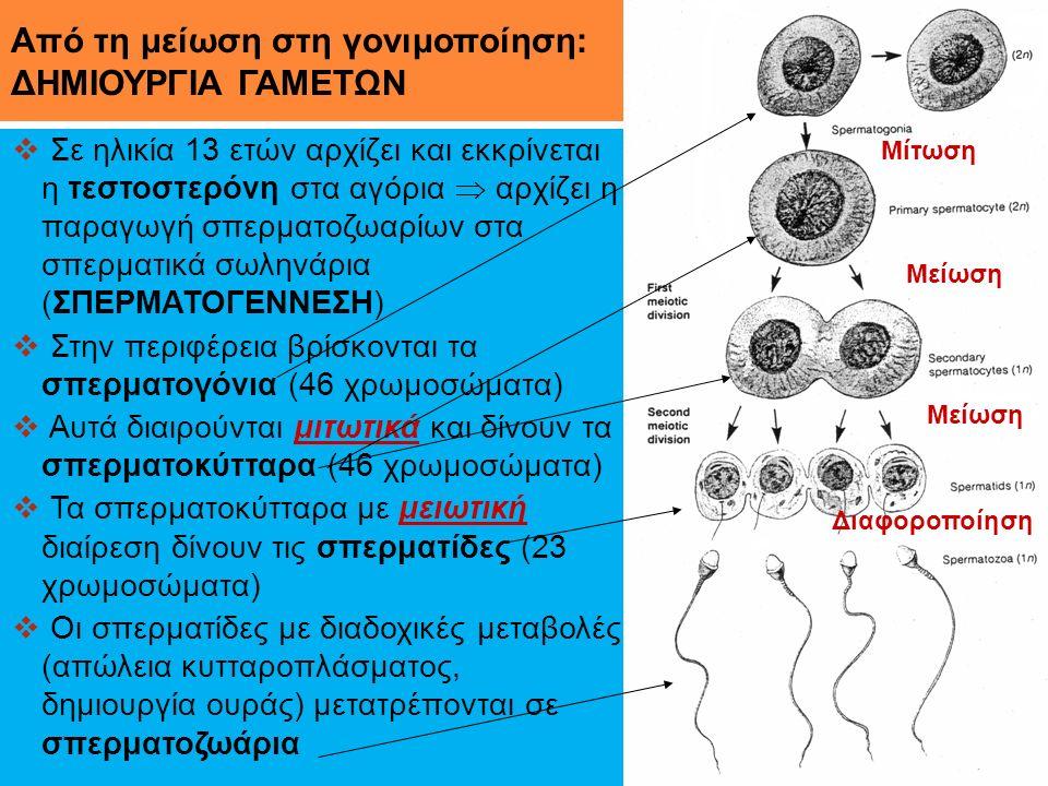 Από τη μείωση στη γονιμοποίηση: ΔΗΜΙΟΥΡΓΙΑ ΓΑΜΕΤΩΝ  Σε ηλικία 13 ετών αρχίζει και εκκρίνεται η τεστοστερόνη στα αγόρια  αρχίζει η παραγωγή σπερματοζ