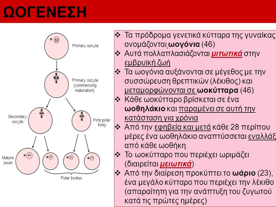 ΩΟΓΕΝΕΣΗ  Τα πρόδρομα γενετικά κύτταρα της γυναίκας ονομάζονται ωογόνια (46)  Αυτά πολλαπλασιάζονται μιτωτικά στην εμβρυϊκή ζωή  Τα ωογόνια αυξάνον