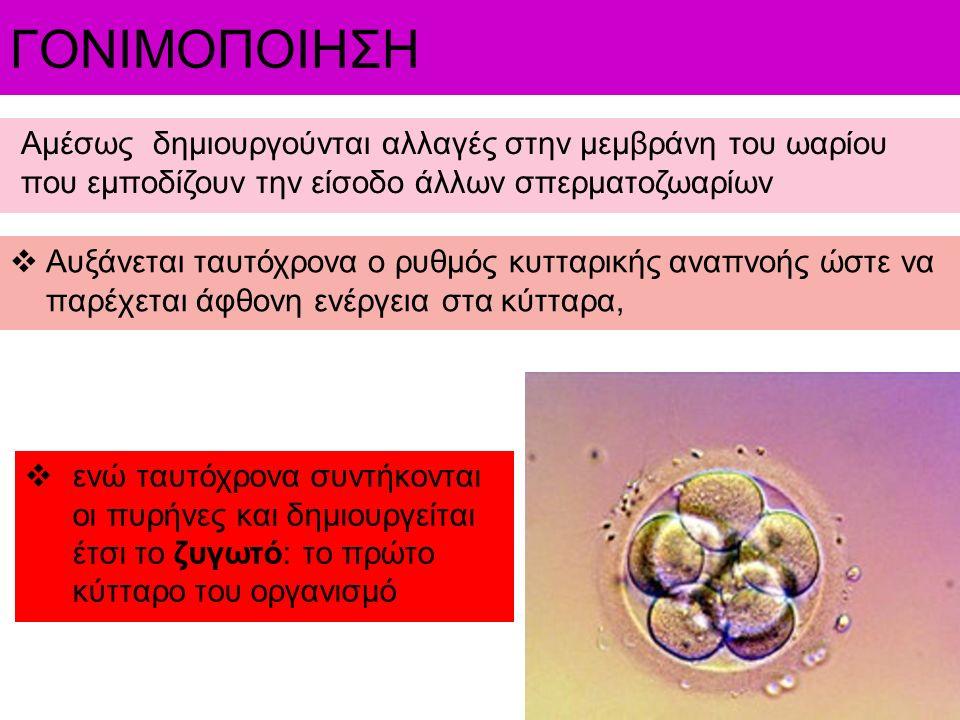 Αμέσως δημιουργούνται αλλαγές στην μεμβράνη του ωαρίου που εμποδίζουν την είσοδο άλλων σπερματοζωαρίων  Αυξάνεται ταυτόχρονα ο ρυθμός κυτταρικής αναπ