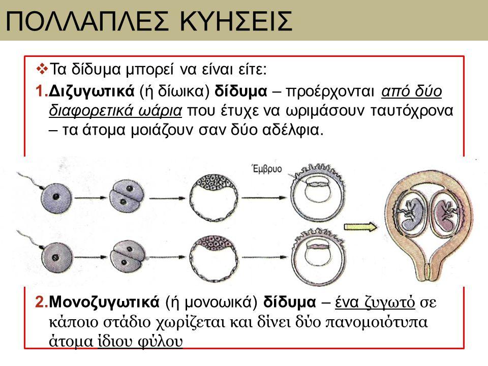 ΠΟΛΛΑΠΛΕΣ ΚΥΗΣΕΙΣ  Τα δίδυμα μπορεί να είναι είτε: 1.Διζυγωτικά (ή δίωικα) δίδυμα – προέρχονται από δύο διαφορετικά ωάρια που έτυχε να ωριμάσουν ταυτ
