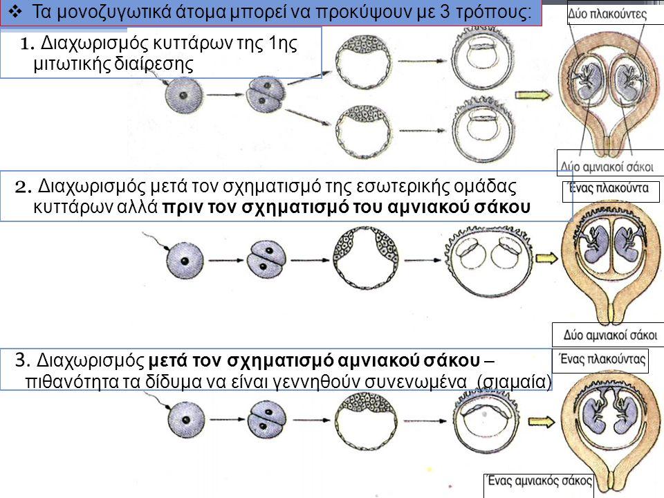  Τα μονοζυγωτικά άτομα μπορεί να προκύψουν με 3 τρόπους: 1. Διαχωρισμός κυττάρων της 1ης μιτωτικής διαίρεσης 3. Διαχωρισμός μετά τον σχηματισμό αμνια