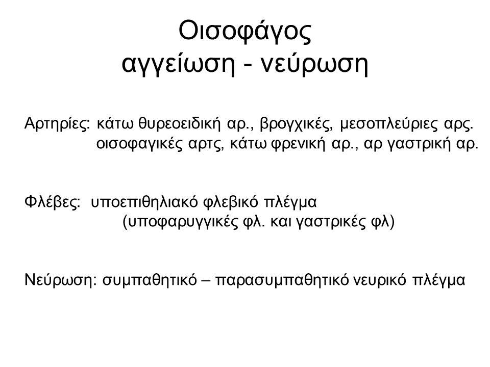 Οισοφάγος αγγείωση - νεύρωση Αρτηρίες: κάτω θυρεοειδική αρ., βρογχικές, μεσοπλεύριες αρς. οισοφαγικές αρτς, κάτω φρενική αρ., αρ γαστρική αρ. Φλέβες: