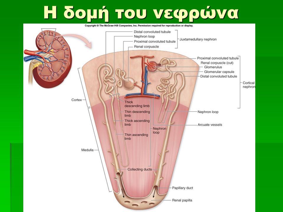 Η δομή του νεφρώνα Η δομή του νεφρώνα