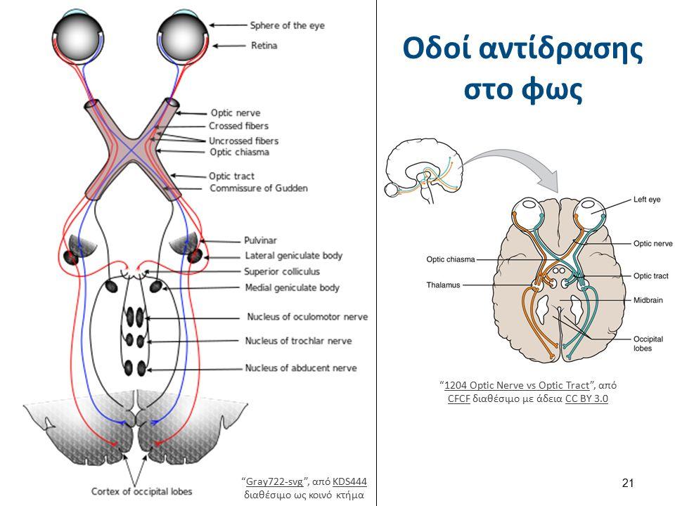 """Οδοί αντίδρασης στο φως 21 """"1204 Optic Nerve vs Optic Tract"""", από CFCF διαθέσιμο με άδεια CC BY 3.01204 Optic Nerve vs Optic Tract CFCFCC BY 3.0 """"Gray"""