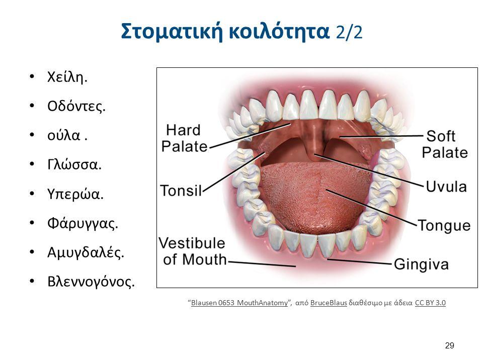 """Στοματική κοιλότητα 2/2 Χείλη. Οδόντες. ούλα. Γλώσσα. Υπερώα. Φάρυγγας. Αμυγδαλές. Βλεννογόνος. 29 """"Blausen 0653 MouthAnatomy"""", από BruceBlaus διαθέσι"""
