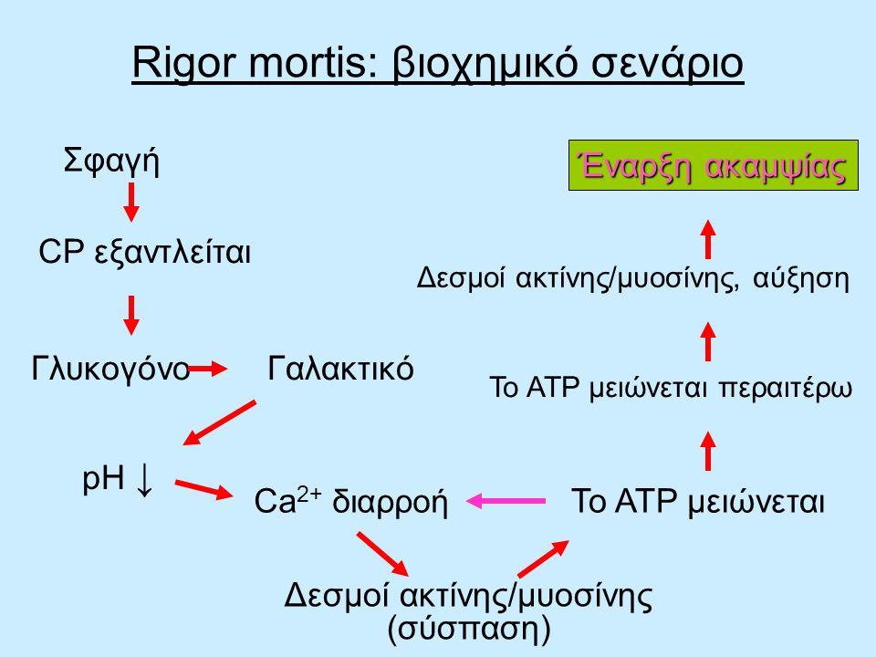 Σφαγή CP εξαντλείται Γλυκογόνο Γαλακτικό pH ↓ Ca 2+ διαρροή Δεσμοί ακτίνης/μυοσίνης (σύσπαση) Το ATP μειώνεται Το ATP μειώνεται περαιτέρω Έναρξη ακαμψ